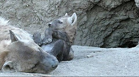 Baby hyena struggles to stay awake while lying belly up next to mommy