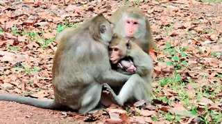 Why You Monkey Steal Baby From Real Mom - Video