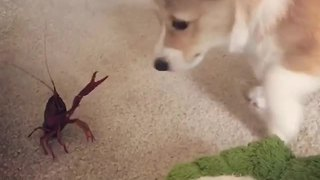 Corgi really wants to be friends with crawfish - Video