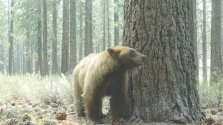 Bear Stops for a Break in Wooded Area Near South Lake Tahoe - Video