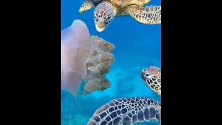 Sea Turtles Snack on Jellyfish at Great Barrier Reef - Video