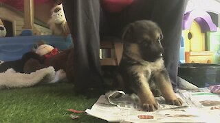 German Shepherd puppy service dog learns how to pick up keys