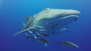Huge whale shark swims with divers