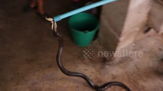 Huge cobra caught after it ate a rooster - Video