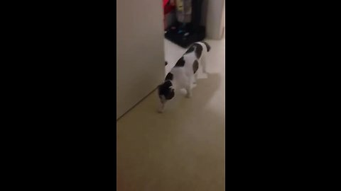 Crazy confused cat barks like a dog