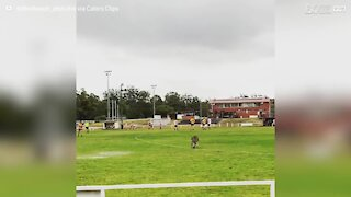 Cheeky kangaroo invades pitch during football game in Australia