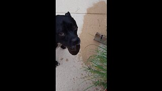Squealing Dog Is Overly Excited For The Water Hose