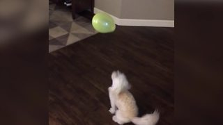 Funny Dog Plays With A Balloon - Video