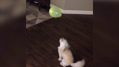 Funny Dog Plays With A Balloon