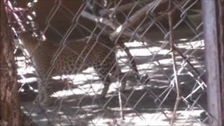 When a Leopard Pays a Visit - Video