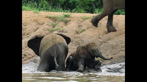 Clumsy elephant brothers struggle to stay on their feet while climbing slippery slope