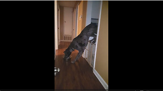 Great Dane learns that gates can't hold him back - Video
