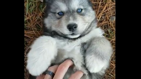 OMG! This blue-eyed husky is the cutest thing I've ever seen 😍😍