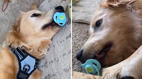 Golden Retriever sucks on pacifier just like a little baby
