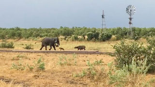 Baby buffalo gives elephant the run around in this hilarious safari encounter - Video
