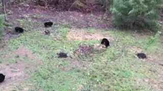 Tennessee Woman Finds Five Bears in Her Backyard - Video