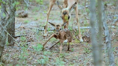 Newborn impala lamb attempts first steps with its wobbly legs