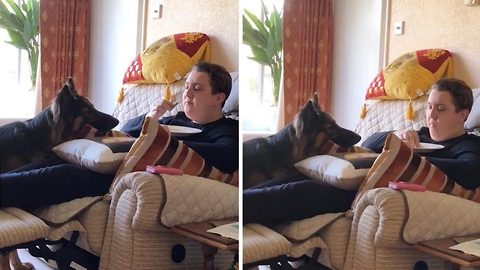You going to eat all that? Hungry german shepherd stares intently at owner eating bacon sandwich
