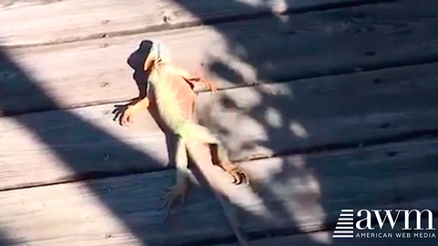 Residents All Over Florida Are Reporting Lizards Are Falling Out Of The Sky
