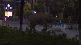 Wild elephant wanders through city in China - Video