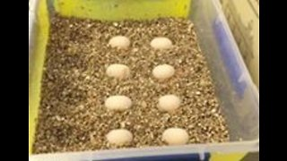 Eggs Recovered From Critically Injured Turtles - Video