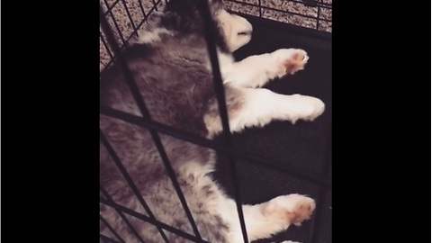 Ellie the husky puppy dreams of playtime