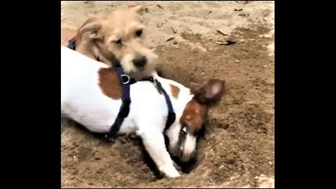 Jack Russell is a digging machine at the beach