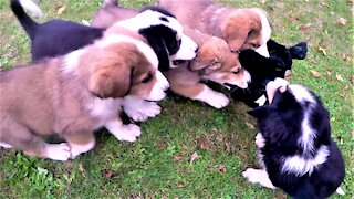 Berner puppies have adorable fight over new stuffed toy