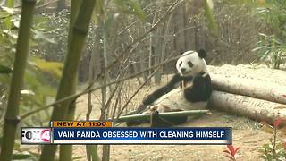 Vain Panda Obsessed with Cleaning Himself - Video