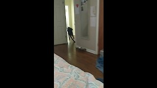 Zoomies with a Great Dane is so much more intense!