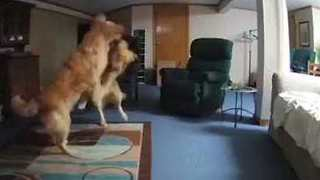 Playful Puppies Caught on Camera in Empty Living Room - Video