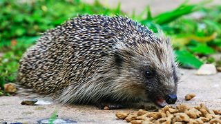 They're prickly characters! 'Hangry' hedgehogs battle it out in vicious garden squabble over grub - Video