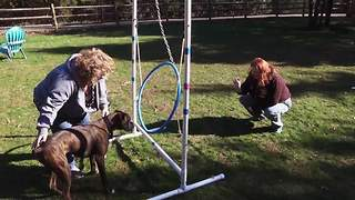 Funny Boxer Dog Learns How To Jump Through A Hula-Hoop - Video
