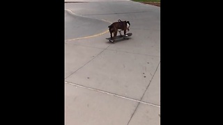Skateboarding dog shows off impressive skills - Video