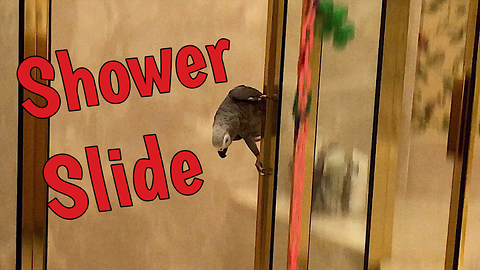 Daredevil parrot slides down shower door like firefighter