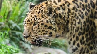 Oregon Zoo's Old-Timer Leopard Gets a Little Help Scratching His Back - Video