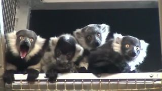 Baby lemurs debut at the Philadelphia Zoo - Video