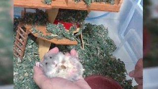 Pet Owner Distracts Hamster With Yummy Treat