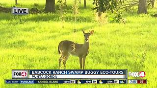 Babcock Ranch offers swamp buggy eco-tours - 7am live report - Video