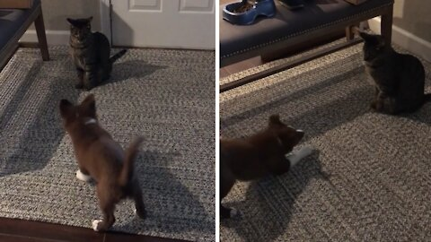 Farm puppy tries to herd cat with predictable results
