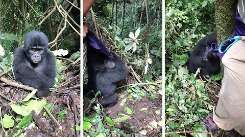 Lively Baby Gorilla Tries Playing Hide And Seek With Tourist In Ugandan Forest