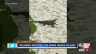 Green iguanas spotted on Anna Maria Island