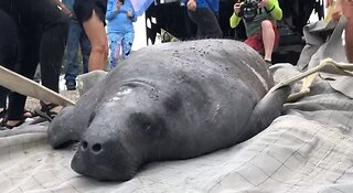 Rescued manatee released