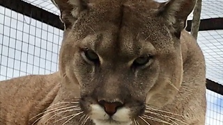 Mountain Lion (Cougar) Growls at Camera  - Video