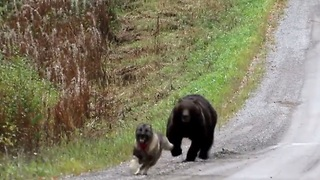 Bear And Dog Chase Each Other In Forest - Video