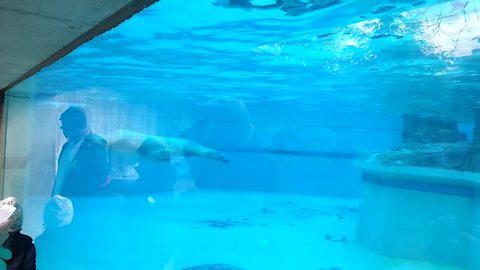 Polar bear majestically swims at the zoo