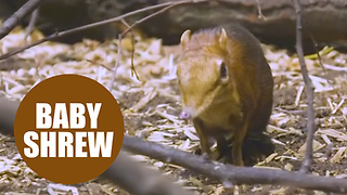 Newborn twin baby elephant shrews - Video