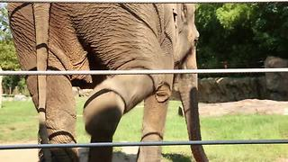 All about how to do an elephant health check   Rare Animals - Video