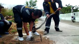 Snake freed from manhole cover using cooking oil - Video