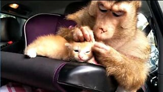 Monkey and kitten have a beautiful friendship